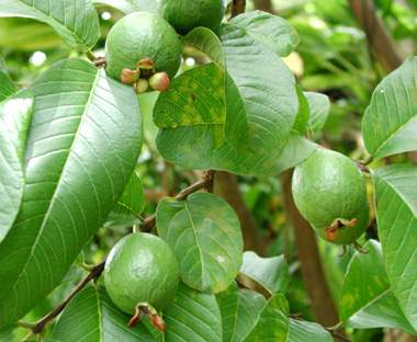 Le goyavier psidium guajava et la goyave plante m dicinale et fruit tropical m dicinal - Feuille de goyave acheter ...