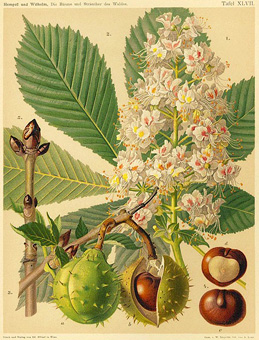 phytoth rapie aesculus hippocastanum marronnier d 39 inde marron d 39 inde plante m dicinale. Black Bedroom Furniture Sets. Home Design Ideas