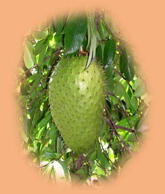 http://www.phytomania.com/corossolok2comp.jpg