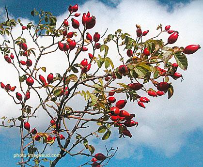 eglantier rosa canina le cynorhodon et les rosiers sauvages plantes medicinales utilisation. Black Bedroom Furniture Sets. Home Design Ideas