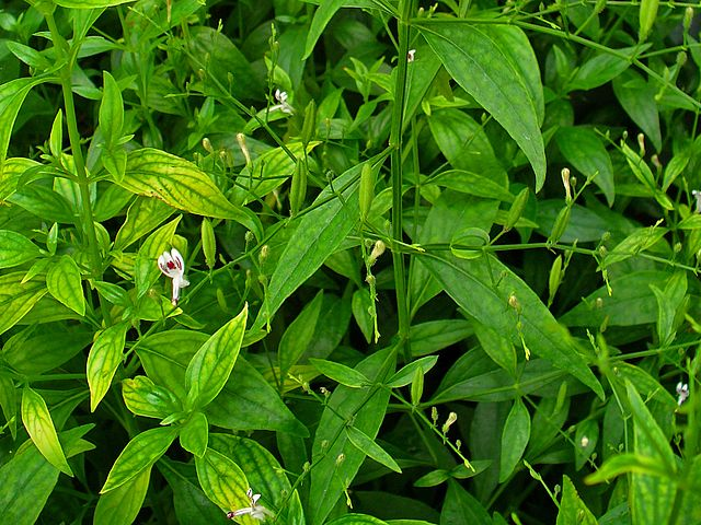 200 seed Andrographis paniculata medicinal herb king of bitters