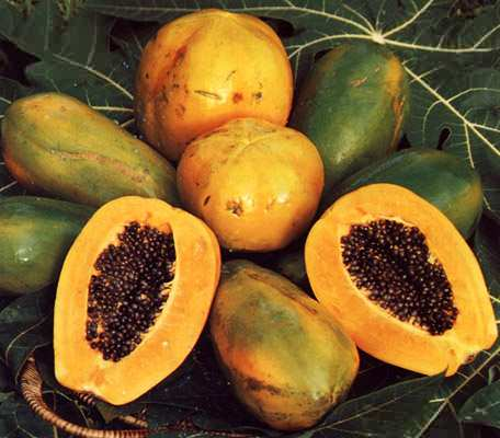 le papayer et la papaye carica papaya plante m dicinale fruit di t tique latex et papaine. Black Bedroom Furniture Sets. Home Design Ideas