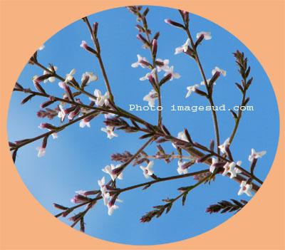 cedron, verveine, aloysa triphylla