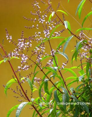 verveine, cedron, aloysa triphylla