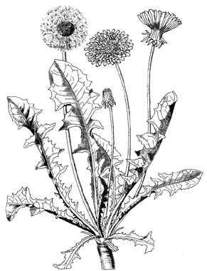 Pissenlit taraxacum officinale plante m dicinale - Dessin fleur pissenlit ...